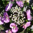 Hydrangea serrata Blueberry Cheesecake MAK20